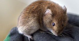 Bank vole | Photo: Thomas Roese
