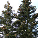 Sizilien-Tanne - Abies nebrodensis