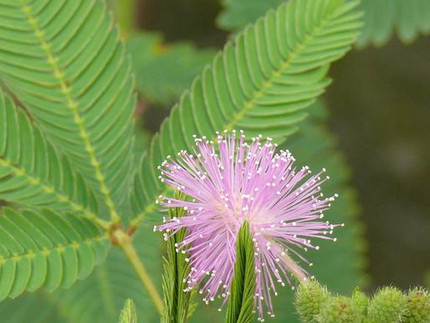 Mimose - Mimosa pudica